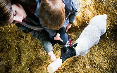 Lamb Feeding is BACK!