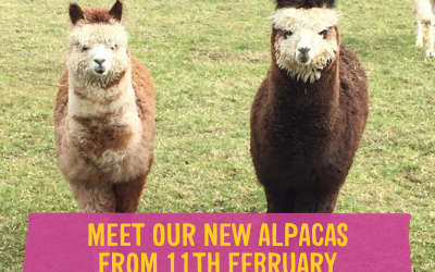 Meet our new Alpacas at Wroxham Barns