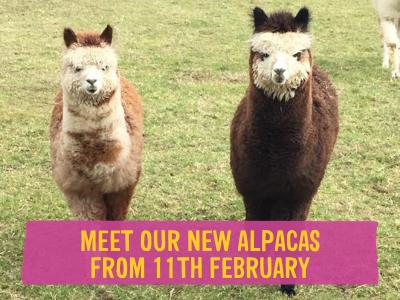 Meet our new Alpacas at Wroxham Barns